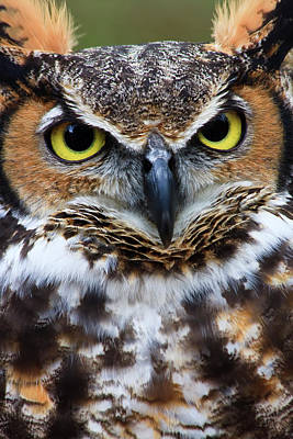 Great Horned Owl Photograph - Great Horned Owl by Jill Lang