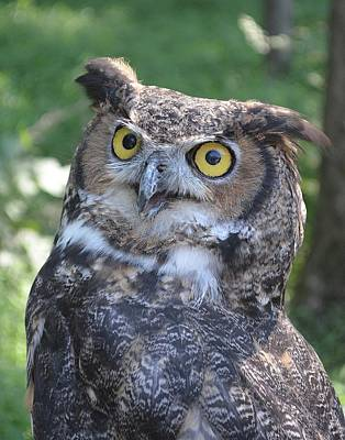 Owls Photograph - Great Horned Owl by Philip Ralley
