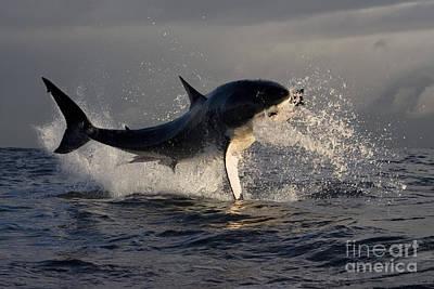 Caudal Photograph - Great White Shark by Jean-Louis Klein & Marie-Luce Hubert