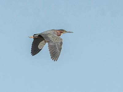Photograph - Green Heron In Flight by Tam Ryan
