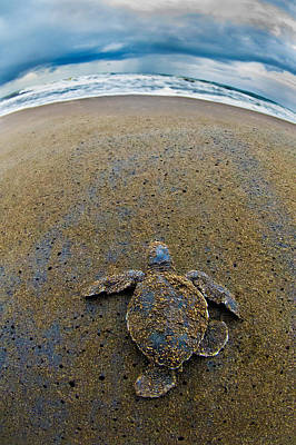 Hatchlings Photograph - Green Sea Turtle Chelonia Mydas by Panoramic Images