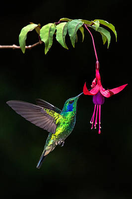 Animal Themes Photograph - Green Violetear Colibri Thalassinus by Panoramic Images