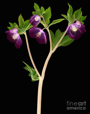 Photograph - Hellebore Flowers, X-ray by Ted Kinsman