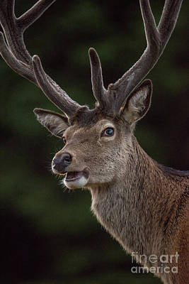 Photograph - Highland Deer by Keith Thorburn LRPS