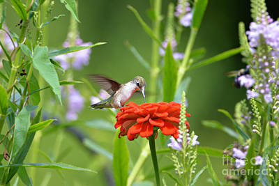 Photograph - Humming Bird by Lila Fisher-Wenzel
