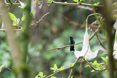 Digital Art - Hummingbirds by Carol Ailles