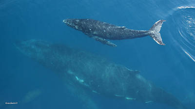 Photograph - Humpback Whales Mother And Calf Image 1 Of 1 by Gary Crockett