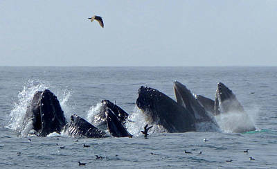 Photograph - 5 Humpbacks Lunge Feeding  by Amelia Racca