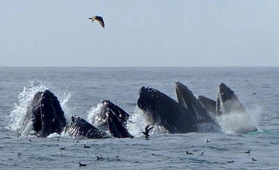 Photograph - 5 Humpbacks Lunge Feeding  by Amelia Racca