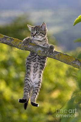 Gray Tabby Photograph - Kitten In A Tree by Jean-Louis Klein & Marie-Luce Hubert