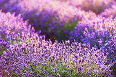 Photograph - Lavender Flower Field At Sunset. by Michal Bednarek