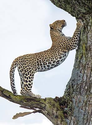 Leopard Panthera Pardus Climbing Art Print