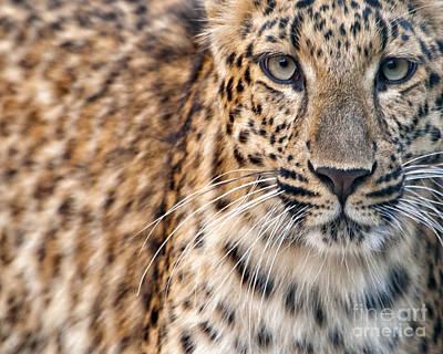Leopard Art Print by White Stork Gallery