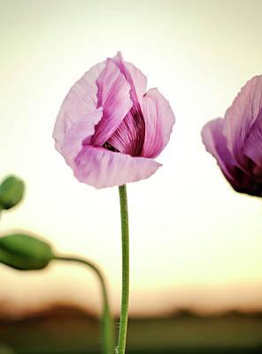 Quiet Photograph - Lilac Poppy Flowers by Nailia Schwarz