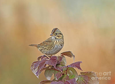 Yellow Photograph - Lincoln's Sparrow by Gary Wing