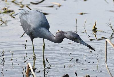 Photograph - Little Blue Heron by David Campione
