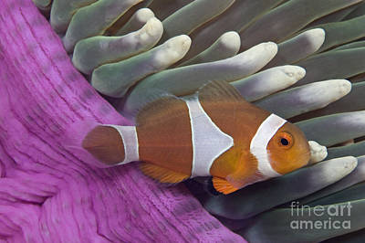 Amphiprion Ocellaris Photograph - Malaysia, Marine Life by Dave Fleetham - Printscapes