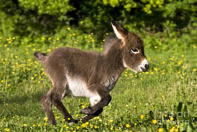 Donkey Foal Photograph - Miniature Donkey Foal by Jean-Louis Klein & Marie-Luce Hubert