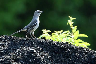 Photograph - Mockingbird Calverton New York by Bob Savage
