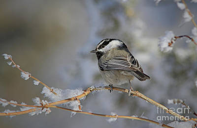Photograph - Mountain Chickadee by Gary Wing
