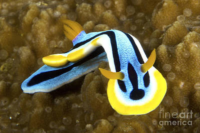 Photograph - Nudibranch Feeding On Algae, Papua New by Terry Moore