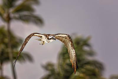 Giuseppe Cristiano - Osprey by Peter Lakomy