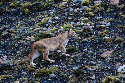 Photograph - Patagonia Puma by Walt Sterneman