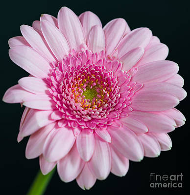 Photograph - Pink Gerbera by Colin Rayner