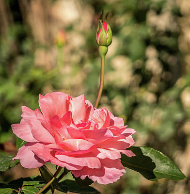 Photograph - Pink Rose by Jane Luxton