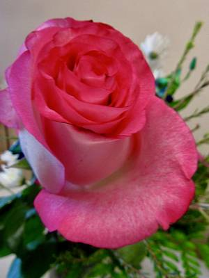 Photograph - Pink Rose by Stephanie Moore