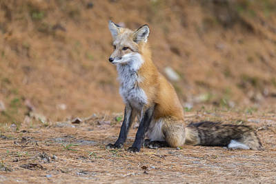 Photograph - Red Fox by Josef Pittner