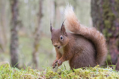 Photograph - Red Squirrel - Scottish Highlands #8 by Karen Van Der Zijden