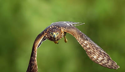 Photograph - Red-tailed Hawk by Peter Lakomy