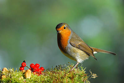 Photograph - Robin by Gavin MacRae
