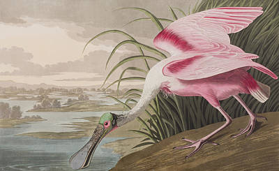 Spoonbill Drawing - Roseate Spoonbill by John James Audubon