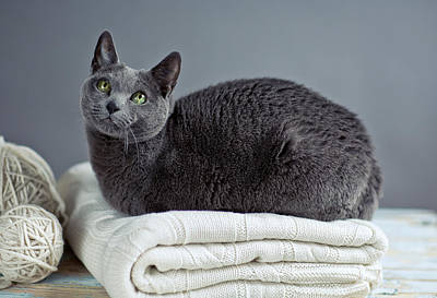 Of Cats Photograph - Russian Blue by Nailia Schwarz