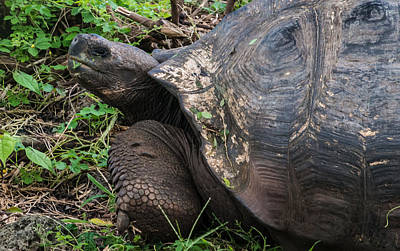 Photograph - Santa Cruz Tortoise by Harry Strharsky