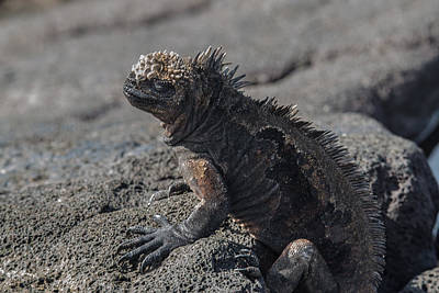 Photograph - Santiago Marine Iguana by Harry Strharsky