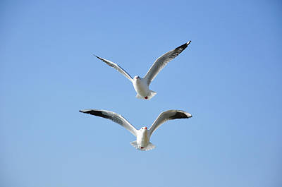 Photograph - Seagulls In The Sky by Carl Ning