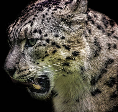 Snow Cat Photograph - Snow Leopard by Martin Newman