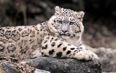 Animal Digital Art - Snow Leopard by Super Lovely