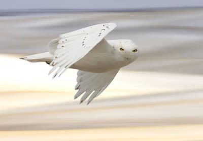 Snowy Owl In Flight Art Print by Mark Duffy