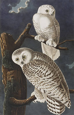 Colored Owl Painting - Snowy Owl by John James Audubon