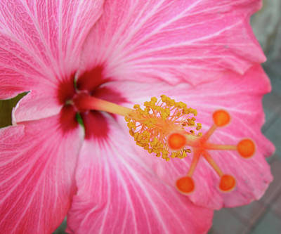 Art Print featuring the photograph 5 Star Hibiscus by Randy Rosenberger