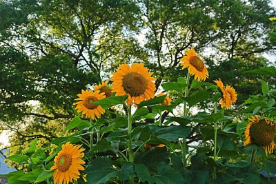 Photograph - Sun Flower by Ronald Olivier