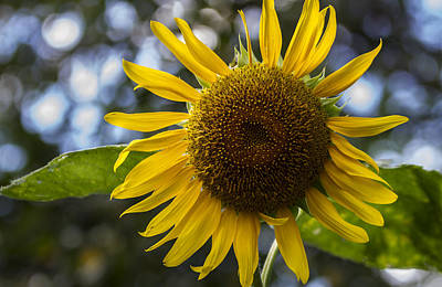 Photograph - Sunflower by Jerry Gammon