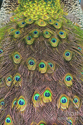 Motif Photograph - Tail Feathers Of Peacock by George Atsametakis