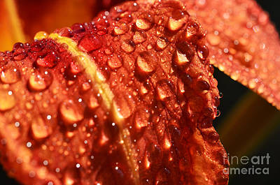 Tawny Daylily And Raindrops Art Print