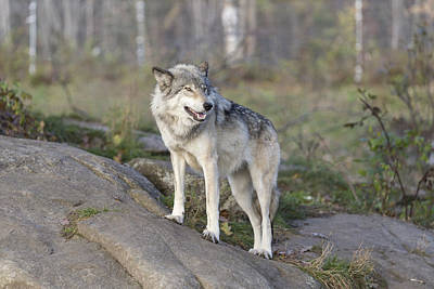 Photograph - Timber Wolf by Josef Pittner