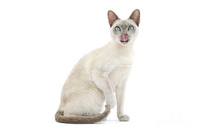 Tonkinese Cat Photograph - Tonkinese Cat by Jean-Michel Labat